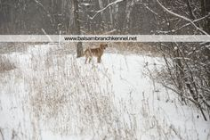 Fresh Snow in Wisconsin | Balsam Branch Kennel | Wisconsin | Manac | Outdoors | Dogs | Fox Red Labrador |   balsam-branch-kennel-fox-red-lab-manac-snow-day-6
