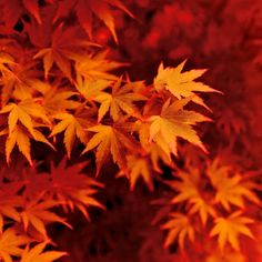 Nature photography, Autumn trees, Acer, Leaves, Fall, Orange, Wall... ($20) ❤ liked on Polyvore featuring home, home decor, wall art, photography wall art, orange home accessories, orange wall art, leaf home decor and fall home decor