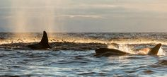 fuckyeahkillerwhales: In the northern part of Norway we have had lots of whales following the herring along the coast in the winter time.  Image copyright Kim Abel