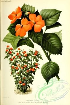 flowers-29367 - impatiens holstii [3329x4962] - use pages plants collage supplies naturalist  botanical botany scan download 1700s illustration decoration vintage commercial books century floral Edwardian natural engravings flora transfer collection 1800s digital craft instant paintings ArtsCult clipart Graphic free lithographs Artscult flowers qulity pack high blooming picture domain flower scrapbooking ornaments public pre-1923 nature 300 dpi masterpiece old art Pictorial royalty 17th 18th…