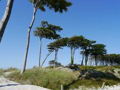 Windflüchter / Weststrand auf dem Darß
