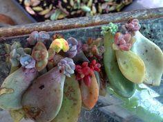 #succulentpropagation #propagatingsucculents #succulentinspired #succulentobsessed #succulentbabies #propagation #plants #iloveplants #ilovesucculents #plantpeople #plantobsessed #cacti #cactus #cactusplants #desertplants #waterwiseplants #droughttolerant #droughtolerantplants #waterwisegrowing #colorfulsucculents #succulentjunkie #succulenthoarder #succulentsonly #succulentsarethebest #succulentmom by succulentgypsy