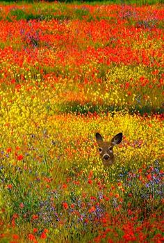 Wild Flowers Inspiration : Deer in a flower meadow - Flowers.tn - Leading Flowers Magazine, Daily Beautiful flowers for all occasions Nature Animals, Animals And Pets, Cute Animals, Beautiful Creatures, Animals Beautiful, Vida Animal, Tier Fotos, All Gods Creatures, Amazing Nature
