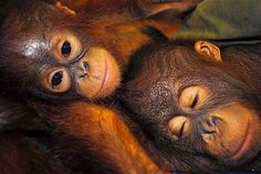 Orangutans rest and snuggle together.