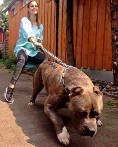 American Bully Daily ⋆ Everything About Pitbull and Bully Dog Breeds Pitbull Terrier, Amstaff Terrier, Dogs Pitbull, Bull Terriers, Large Dog Breeds, Best Dog Breeds, Best Dogs, Huge Dogs, Giant Dogs