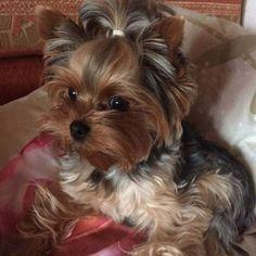 Cute little Yorkie