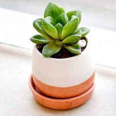"""When selecting a gift don't forget to check these pretty succulent packs! These evergreen plants are a symbol of """"enduring and timeless love"""" and are always a pleasant gift for loved ones. Succulents Online, Blue Succulents, Pink Succulent, Planting Succulents, Planting Flowers, Red Plants, White Plants, Flowering Plants, Cactus Plants"""