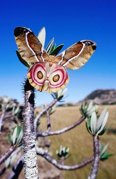 Did you see an Owl before you saw the moth? Moth in Isalo National Park, Madagascar by Karl Lehmann Beautiful Bugs, Beautiful Butterflies, Amazing Nature, Beautiful Creatures, Animals Beautiful, Madagascar, Moth Caterpillar, Bugs And Insects, Tier Fotos
