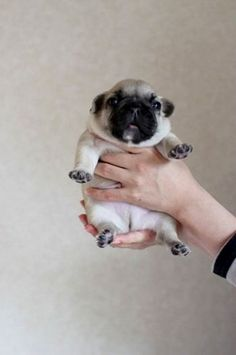 The cutest pug puppy, and so small!  For more cute images, go to:  http://sussle.org/t/Puppy