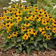Buy Rudbeckia Little Goldstar Perennial Plants Online. Garden Crossings Online Garden Center offers a large selection of Black Eyed Susan Plants. Shop our Online Perennial catalog today!