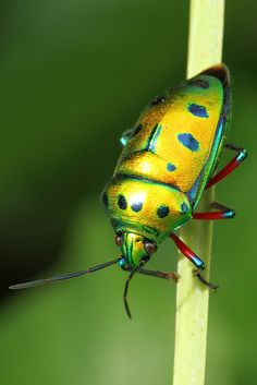 Fascinating Beetle - yellow with bright green markings and red legs.