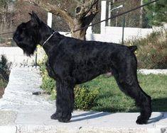 Schnauzer gigante - Blog de mascotas de PerrosGatosymas.es