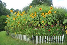 sunflower garden my favorite flowers together like this might add some needed privacy to our backyar Sunflower Patch, Small Sunflower, Sunflower Garden, Sunflower Flower, Growing Sunflowers, Sunflowers And Daisies, Garden Beds, Vegetable Garden, Zinnia Garden