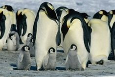Pleaes list the Emperor Penguin as an endangered species. These birds are being particularly hard hit by climate change. We must signatures on petition) Nocturnal Animals, Cute Animals, Baby Animals, Wild Animals, Monkey Kingdom, Animal Kingdom, French Film, March Of The Penguins, Puppies