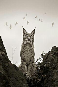 Iberian Lynx . Lince Ibérico