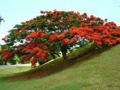 Flamboyan - one of my favorite trees in Puerto Rico Puerto Rico, Puerto Rican Culture, Colorful Trees, Flowering Trees, Beautiful Places To Visit, Beautiful Islands, Amazing Nature, Trees To Plant, Garden Landscaping