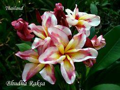 Colorful Plumeria