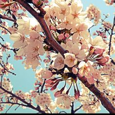 cherry blossom in KOREA!!!!!!! 내가찍엇지만 너모예쁘다 헤헤헿