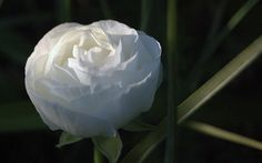 White Ranunculus by Shelley & Dave, via Flickr