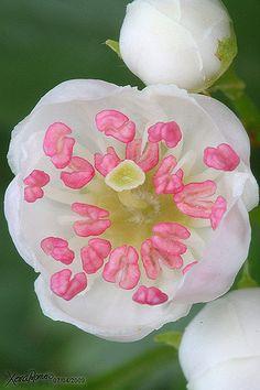 Flor de Crataegus monogyna, majuelo, Rosaceae.  Primavera 2009, 7 de abril de 2009, Pinar del Rey, San Roque, Cádiz.