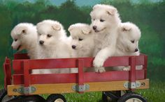 Samoyed puppies.  Not sure how you get 5 of them to hold still, but cute shot!