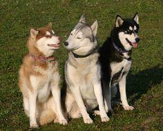 siberian husky dog - Google Search