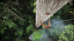 The Central African Republic has some rainforests as well as communities that follow tradition, such as this Bayaka tribesman climbing a 40 m tree to harvest honey