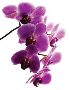 Paixão por orquídeas - Meu orquidário: Guia da Phalaenopsis