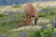 """Olympic National Park: """"Incredible scene to witness. We knew the doe and very young fawn were in the area so we arrived near daybreak to shoot in good light in the mountain wildflowers. For a brief moment the bunny ran out and played with the fawn circling the mom"""" says Lane Rushing. [1024x683]"""