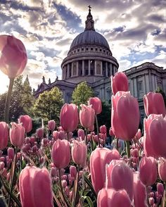 St. Paul's Cathedral with pink Tulips in foreground.