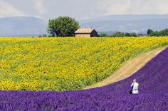 Into a painting | Sunflowers and lavender near Valensole, Provence, France.