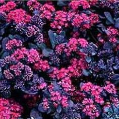 Sedum 'Bertram Anderson' - Lovely groundcover and great companion to 'Angelina'…