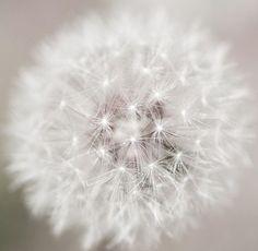 :*¨¨*:·.Blanc.·:*¨¨*: White dandelion  ;p