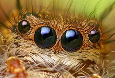 Anterior Median and Anterior Lateral Eyes of a Phidippus princeps Jumping Spider by Thomas Shahan, via Flickr