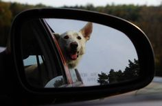 Happy dog in the car! Happy Dogs, Animal Pictures, Pets, Car, Animals, Automobile, Images Of Animals, Animaux, Vehicles
