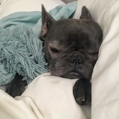 Woman, it is Sunday morning. There better be a good reason why you are taking a picture of me this early in the morning. #sundays #notamorningperson #thatface #love #puppydog #igdogs #dogs #bluefrenchie #cutiepie #itsadogslife #dog #frenchies #instadog #bully #instafrenchie #igfrenchies #frenchbulldog #frenchielovers #bulldoglove #frenchbulldog #frenchielove #lovemydog #frenchiegrams #frenchiesofinstagram #bulldog #animals #dogsofinstagram #bluebullydogs #frenchie #frenchbulldog #bluefren...