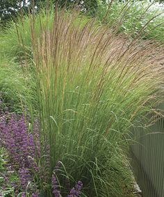 1000 images about shade plants on pinterest perennials for Tall ornamental grasses for screening