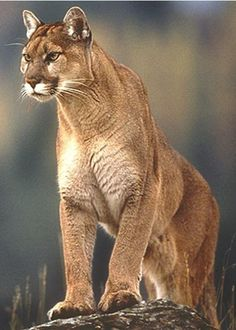 The Puma, most commonly known in the western United States as the Mountain Lion, has many other names such as: Catamount, Cougar, and Panther. - Hope I never cross paths with one!