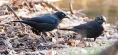Rusty Blackbirds: 15 March 2016, Luria Park, Falls Church, VA, 4:45 p.m., 62 degrees, mostly sunny, calm