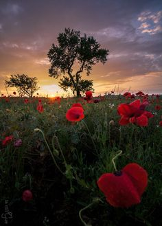 Red poppy 🌺