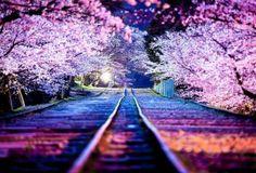 Japan's cherytrees