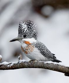 The crested kingfisher (Megaceryle lugubris) is native to parts of southern Asia, stretching eastwards from the Indian Subcontinent towards Japan. All Birds, Little Birds, Love Birds, Pretty Birds, Beautiful Birds, Animals Beautiful, Exotic Birds, Colorful Birds, Animals And Pets