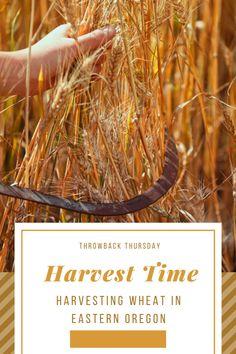 Harvest Day, Golden Harvest, Growing Wheat, Urban Farming, Japchae, Oregon, Memories, Ethnic Recipes, Summer