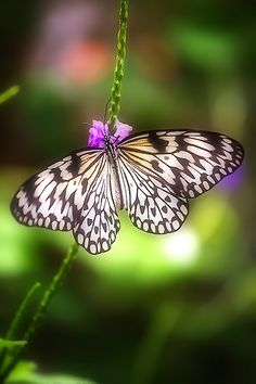 Idea leuconoe (Rice Paper butterfly) by YYZDez Butterfly Kisses, White Butterfly, Butterfly Flowers, Flowers Nature, Butterfly Wings, Beautiful Bugs, Beautiful Butterflies, Butterfly Cocoon, The Paper Kites