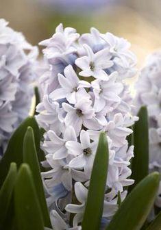 Silverstone (Garden Hyacinth) Bulbs | Hyacinths Bulbs Silverstone (Garden…