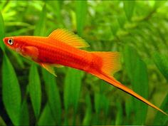 Red-Sword Tail Platy
