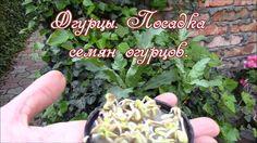 Огурцы.  Посадка семян огурцов в открытый грунт.