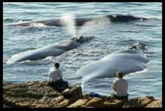 Whale Watching in Hermanus, Western Cape, South Africa. Hermanus is known as the land based whale capital of the world! Southern Right Whales can be watched from the beach or the cliff pathways between June and November. via Green Renaissance FB South Afrika, Cape Town South Africa, Wale, Delphine, Out Of Africa, Whale Watching, Africa Travel, Beautiful World, Places To Visit