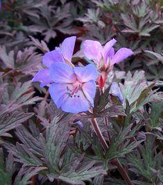 Geranium pratense 'Dark Reiter', gardening, landscaping, plantings, purple flower