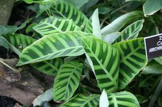 There are many species in the Calathea plant family, but one of the most popular is the Calathea zebra plant (Calathea zebrina). Read this article to learn more about growing this particular variety. Cat Plants, Free Plants, Garden Plants, Indoor Plants, House Plants, Balcony Gardening, Indoor Gardening, Trees To Plant, Plant Leaves